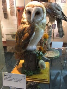 450px-Stuffed_barn_owl,_Hereford_Museum_and_Art_Gallery_-_DSCF1950